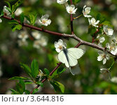 Бабочка на ветке вишни. Стоковое фото, фотограф Александр Скотнов / Фотобанк Лори
