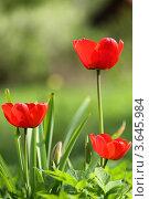 Тюльпаны, фото № 3645984, снято 7 мая 2012 г. (c) Игорь Семенов / Фотобанк Лори