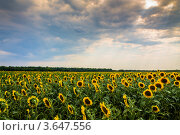Подсолнухи. Стоковое фото, фотограф Андрей Корж / Фотобанк Лори