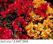 Купить «Фон из цветов», эксклюзивное фото № 3647564, снято 3 сентября 2010 г. (c) Михаил Карташов / Фотобанк Лори