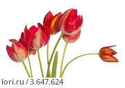 Красные тюльпаны на белом фоне. Стоковое фото, фотограф Александр Довянский / Фотобанк Лори