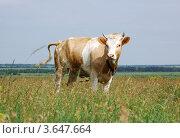 Корова в поле. Стоковое фото, фотограф Александр Довянский / Фотобанк Лори