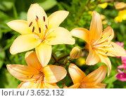 Купить «Желтые лилии», фото № 3652132, снято 7 июля 2012 г. (c) Екатерина Овсянникова / Фотобанк Лори