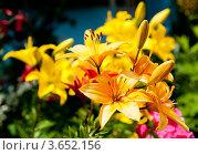 Купить «Желтые лилии», фото № 3652156, снято 7 июля 2012 г. (c) Екатерина Овсянникова / Фотобанк Лори