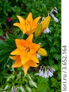 Купить «Желтые лилии», фото № 3652164, снято 7 июля 2012 г. (c) Екатерина Овсянникова / Фотобанк Лори