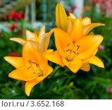 Купить «Желтые лилии», фото № 3652168, снято 7 июля 2012 г. (c) Екатерина Овсянникова / Фотобанк Лори