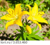 Купить «Желтые лилии», фото № 3653460, снято 8 июля 2012 г. (c) Екатерина Овсянникова / Фотобанк Лори