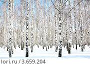 Купить «Березовый лес зимой в солнечный день», фото № 3659204, снято 2 апреля 2012 г. (c) Елена Ковалева / Фотобанк Лори