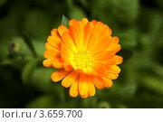 Календула оранжевого цвета. Стоковое фото, фотограф Александр Иванович Кочунов / Фотобанк Лори