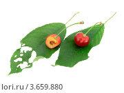 Две вишни на листьях. Стоковое фото, фотограф Александр Фемяк / Фотобанк Лори