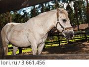 Лошадь белой масти за оградой на фоне соснового леса. Стоковое фото, фотограф Олег Скударнов / Фотобанк Лори
