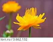 Купить «Цветок купальницы Ледебура (Trollius ledebourii)», фото № 3662132, снято 23 июня 2012 г. (c) Алёшина Оксана / Фотобанк Лори