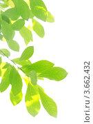 Зеленая ветвь сирени на белом фоне. Стоковое фото, фотограф Надежда Щур / Фотобанк Лори