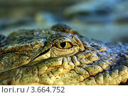 Глаз крокодила. Стоковое фото, фотограф Марат Сафаров / Фотобанк Лори