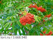 Рябина обыкновенная.  Sorbus aucuparia. Стоковое фото, фотограф Алёшина Оксана / Фотобанк Лори