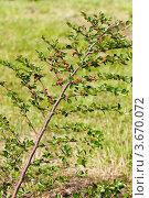 Ветка молодого кизильника горизонтального, фото № 3670072, снято 20 июня 2012 г. (c) Катерина Макарова / Фотобанк Лори