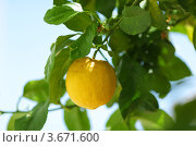 Купить «Лимон на ветке», фото № 3671600, снято 26 мая 2012 г. (c) Иван Михайлов / Фотобанк Лори