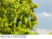 Листья грецкого ореха. Стоковое фото, фотограф Александр Бурштын / Фотобанк Лори