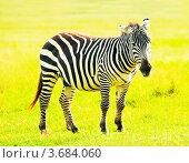 Купить «Зебра. Кения», фото № 3684060, снято 7 июня 2012 г. (c) Екатерина Овсянникова / Фотобанк Лори