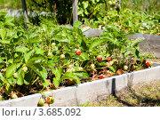 Купить «Клубника на грядке», фото № 3685092, снято 6 июля 2012 г. (c) Катерина Макарова / Фотобанк Лори
