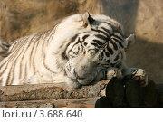 Купить «Белый Бенгальский тигр спит на бревенчатом помосте (Бенгальский тигр, белая вариация, Panthera tigris tigris, var. Alba)», эксклюзивное фото № 3688640, снято 24 марта 2012 г. (c) Щеголева Ольга / Фотобанк Лори