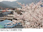 Купить «Белая японская сакура ( Prunus serrulata ) цветет на фоне восточного пейзажа», фото № 3689116, снято 9 апреля 2012 г. (c) Ольга Липунова / Фотобанк Лори