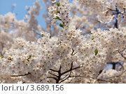 Купить «Белая японская сакура ( Prunus serrulata ) цветет на фоне голубого неба весной», фото № 3689156, снято 14 апреля 2011 г. (c) Ольга Липунова / Фотобанк Лори