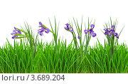 Купить «Цветы ириса в зеленой траве, белый фон», фото № 3689204, снято 18 сентября 2018 г. (c) Яков Филимонов / Фотобанк Лори