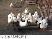 Купить «Утки», фото № 3690948, снято 8 июля 2012 г. (c) Игорь Веснинов / Фотобанк Лори