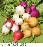 Купить «Цветная редиска», фото № 3691688, снято 10 июля 2012 г. (c) Павел Москаленко / Фотобанк Лори