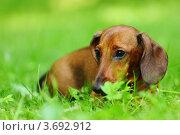 Купить «Такса в траве», фото № 3692912, снято 30 июня 2011 г. (c) Иван Михайлов / Фотобанк Лори