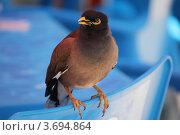 Купить «Птица Майна (Acridotheres tristis)», фото № 3694864, снято 19 июня 2012 г. (c) Дианова Елена / Фотобанк Лори