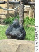 Купить «Горилла сидит на траве в вольере зоопарка», фото № 3697712, снято 28 июня 2012 г. (c) Елена Блохина / Фотобанк Лори
