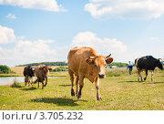 Купить «Коровы пасутся на лугу возле реки», эксклюзивное фото № 3705232, снято 28 июля 2012 г. (c) Игорь Низов / Фотобанк Лори