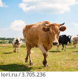 Купить «Коровы пасутся на лугу», эксклюзивное фото № 3705236, снято 28 июля 2012 г. (c) Игорь Низов / Фотобанк Лори