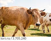 Купить «Корова», эксклюзивное фото № 3705240, снято 28 июля 2012 г. (c) Игорь Низов / Фотобанк Лори