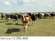 Коровы идут клином (2012 год). Редакционное фото, фотограф Геннадий чупругин / Фотобанк Лори