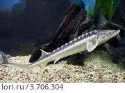 Купить «Осетр (Acipenser) в аквариуме», фото № 3706304, снято 3 марта 2012 г. (c) Яков Филимонов / Фотобанк Лори