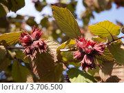 Лесной орех. Стоковое фото, фотограф Мария Семечкова / Фотобанк Лори