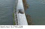Купить «Тюлень лежит на бетонной трубе», видеоролик № 3710228, снято 9 ноября 2010 г. (c) Losevsky Pavel / Фотобанк Лори