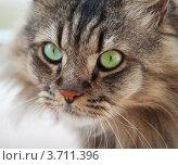 Купить «Обычная кошка крупным планом», фото № 3711396, снято 29 июля 2012 г. (c) pzAxe / Фотобанк Лори