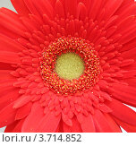 Купить «Красная гербера», фото № 3714852, снято 25 мая 2012 г. (c) Александр Литовченко / Фотобанк Лори
