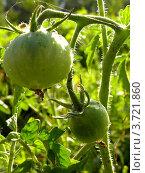 Зеленые помидоры на ветке. Стоковое фото, фотограф Мамонтова Екатерина Александровна / Фотобанк Лори