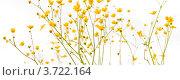 Купить «Лютики на белом фоне», фото № 3722164, снято 2 июня 2012 г. (c) Скворцов Андрей / Фотобанк Лори