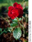 Купить «Красная роза», фото № 3723460, снято 28 декабря 2011 г. (c) Сурикова Ирина / Фотобанк Лори