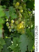 Белый виноград. Стоковое фото, фотограф Юлия Науменко / Фотобанк Лори