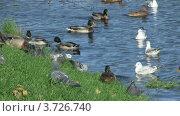 Купить «Птицы на берегу пруда», видеоролик № 3726740, снято 12 октября 2009 г. (c) Egorius / Фотобанк Лори