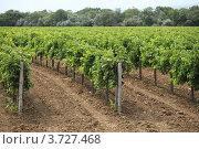 Купить «Виноградники Таманского полуострова», фото № 3727468, снято 28 июля 2012 г. (c) Оксана Лычева / Фотобанк Лори