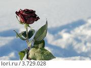 Замороженная роза на фоне снега. Стоковое фото, фотограф Александр Довянский / Фотобанк Лори