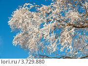 Купить «Снежная ветка дерева в солнечный морозный день», фото № 3729880, снято 8 декабря 2010 г. (c) Татьяна Кахилл / Фотобанк Лори